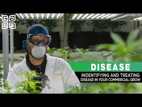 Identifying Disease in Your Commercial Cannabis Grow - Powdery Mildew, Botrytis (Bud Rot), and More!