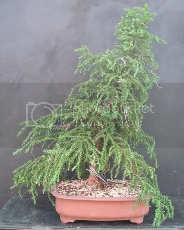 Cryptomeria bonsai - courtesy photobucket
