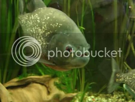 Don Rickles fish