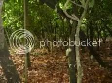 Cocoa Trees.