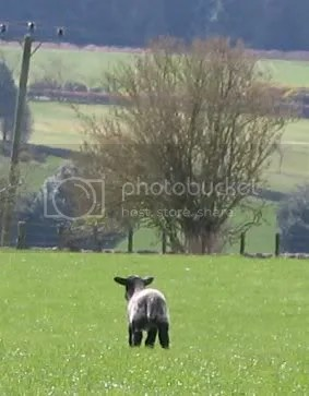 lamb legging it