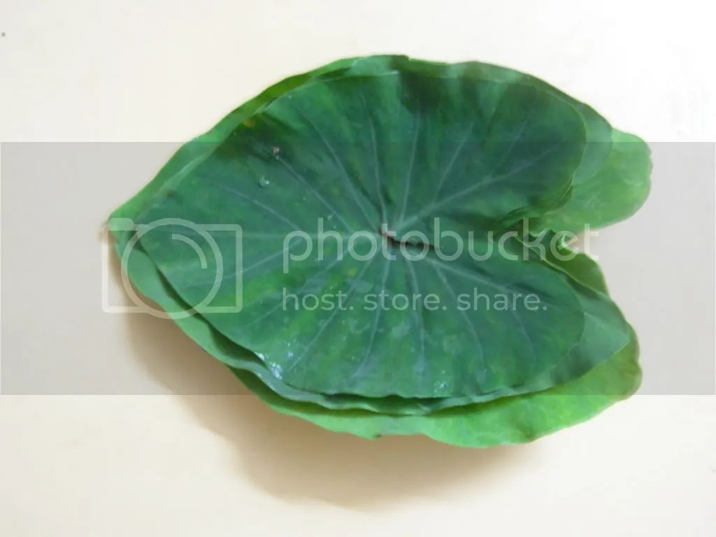colocasia leaves