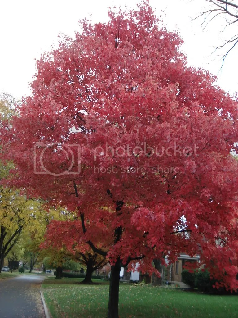 Bright red tree on Beverly Place in the fall.