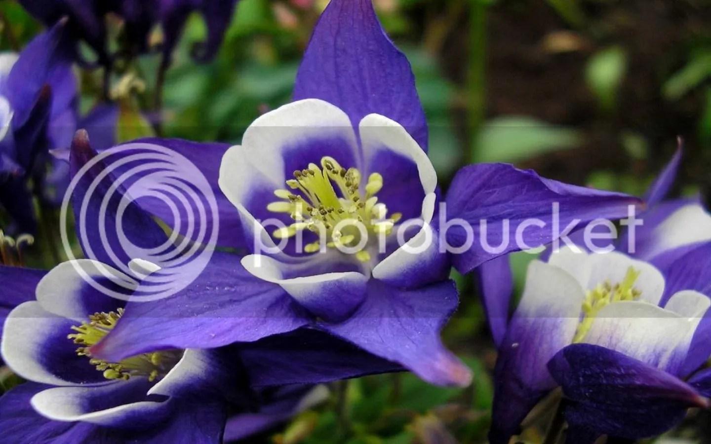 photo Columbine 1 purple_zpsoty8uswy.jpg