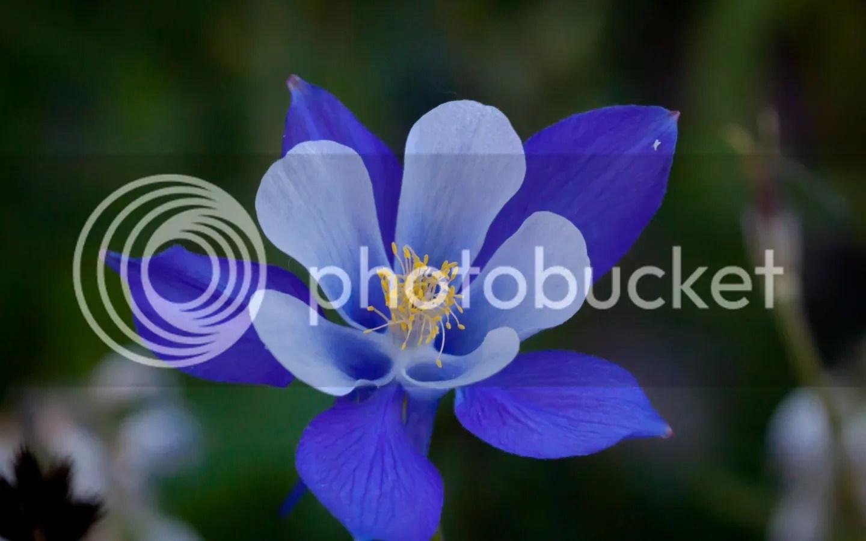 photo Columbine 2 blue_zpsunnxfdxu.jpg