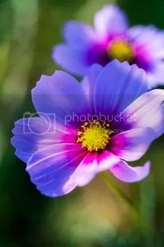photo Cosmos hng pha_zpsh6gwtr0r.jpg