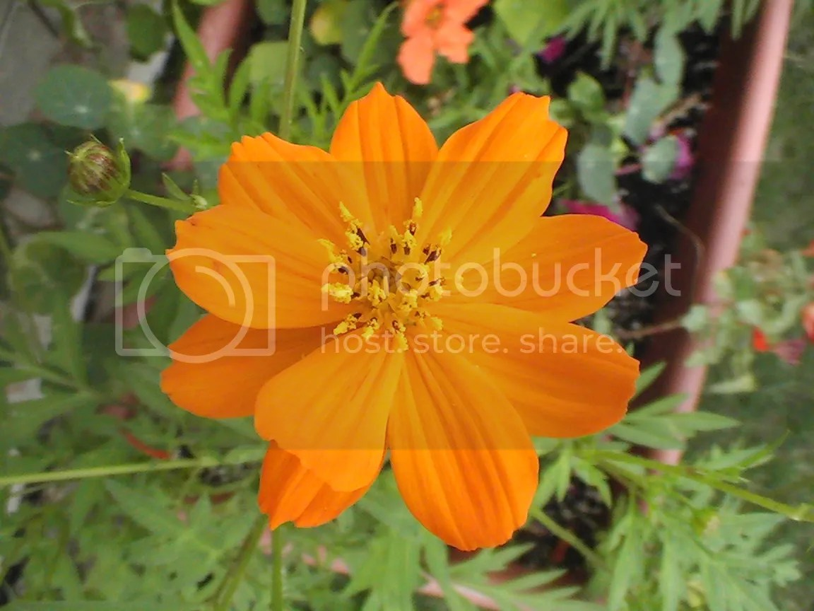 photo Yellow cosmos_zpso4chexn7.jpg