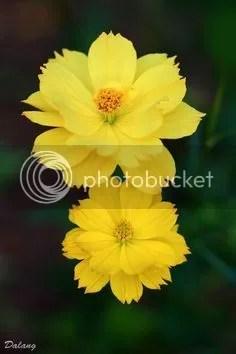 photo Yellow cosmos_zpsshudvhxv.jpg