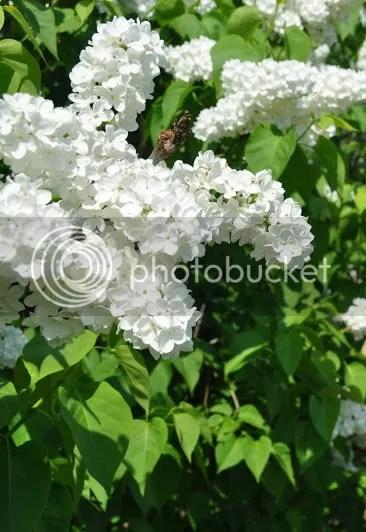 Lilac trắng photo Lilactr1EAFng_zpsc97b9254.jpg