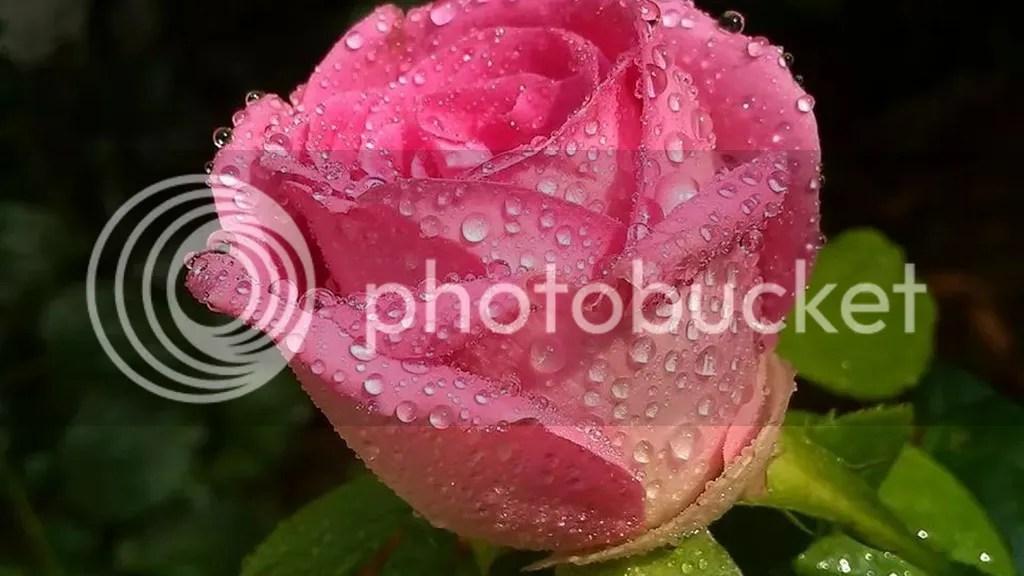photo Rose 3_zpscenrdn3i.jpg