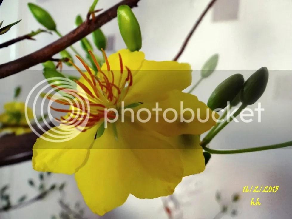 Hoa Mai vườn nhà photo DSC05156_zps331858ba.jpg