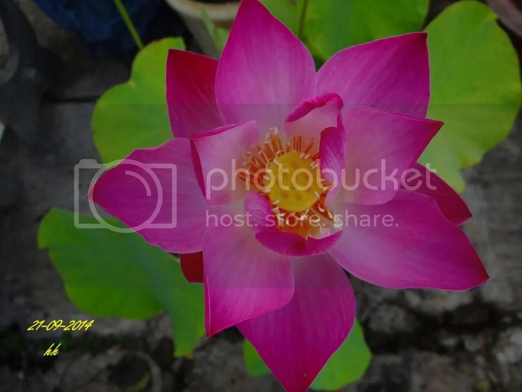 https://i0.wp.com/i216.photobucket.com/albums/cc273/HuynhHue_bucket/Home%20Grown%20Flowers/Sen_zps3286307e.jpg