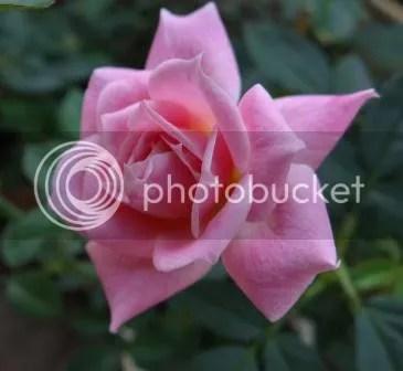 photo rose-2_zps9b18ec97.jpg