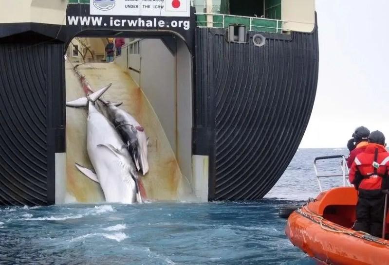 Wielorybnictwo a la Japonia