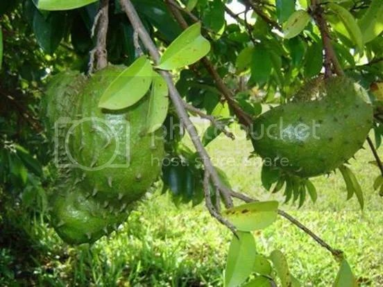 buah sirsak