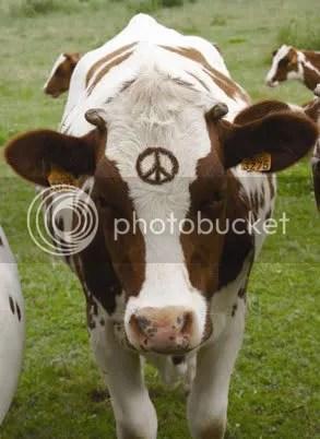 Hippy Cow