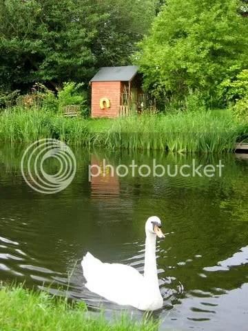 Friendly swan