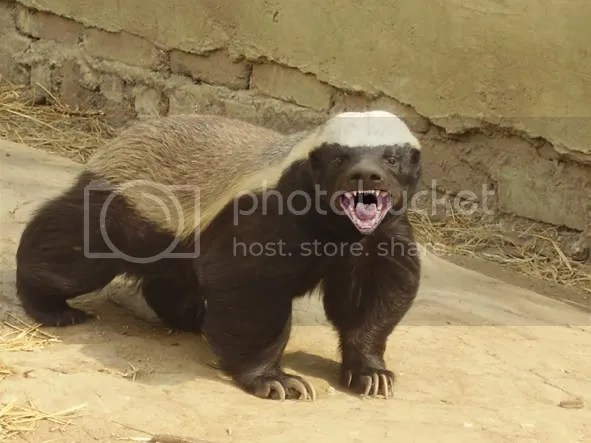 Honey Badger Pictures, Images and Photos