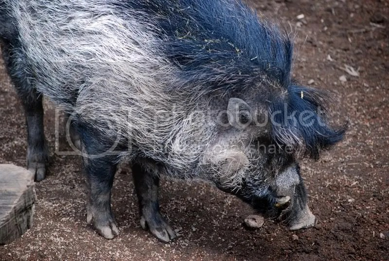 I forget what kind of boar these were, but I *love* their hairdos.  And yes, they are really that color