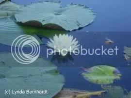 Water Lily (c) Lynda Bernhardt