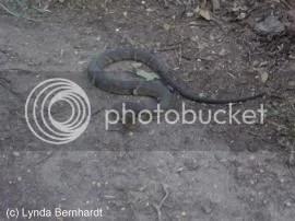 Snake (c) Lynda Bernhardt