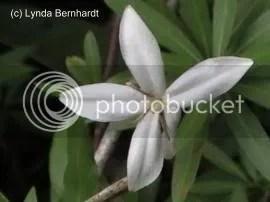 White flower (c) Lynda Bernhardt