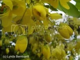 Yellow Flowers (c) Lynda Bernhardt