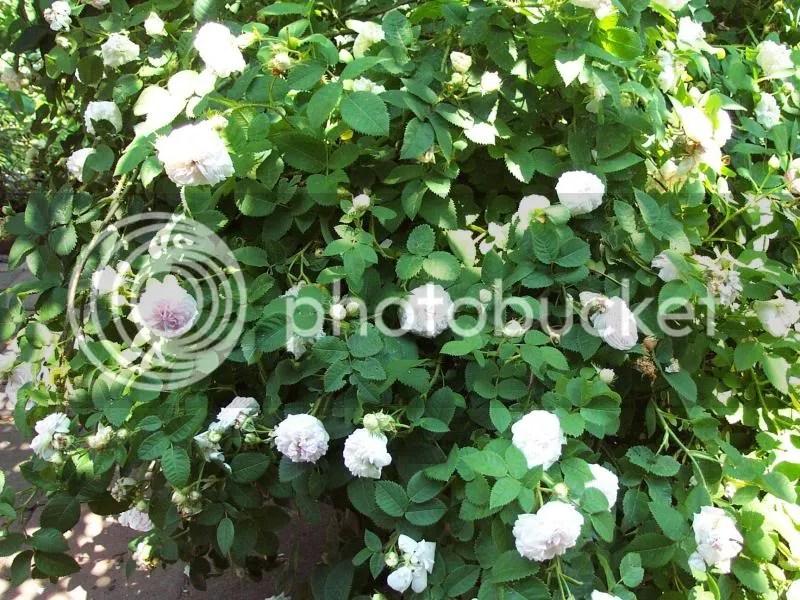 Rose Alba  Forum di Giardinaggioit