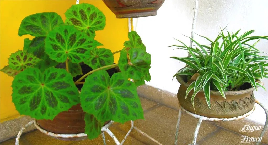 A closer view of two of the plants displayed at our front porch.  (Credit:  Omar Upegui R.)