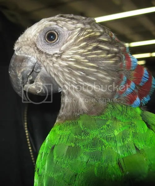 A clearer picture of the hawkhead, showing his bright green iridescent feathers in the light of the camera's flash.