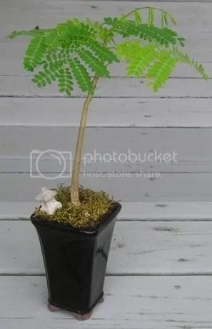 delonix regia, bonsai, flamboyant tree