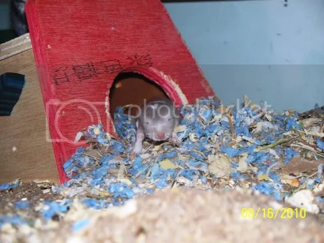 A tiny grey and white baby gerbil is crawling out of its little red house.