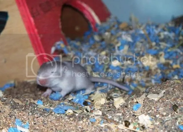 The same grey and white baby gerbil, a bit further from its house