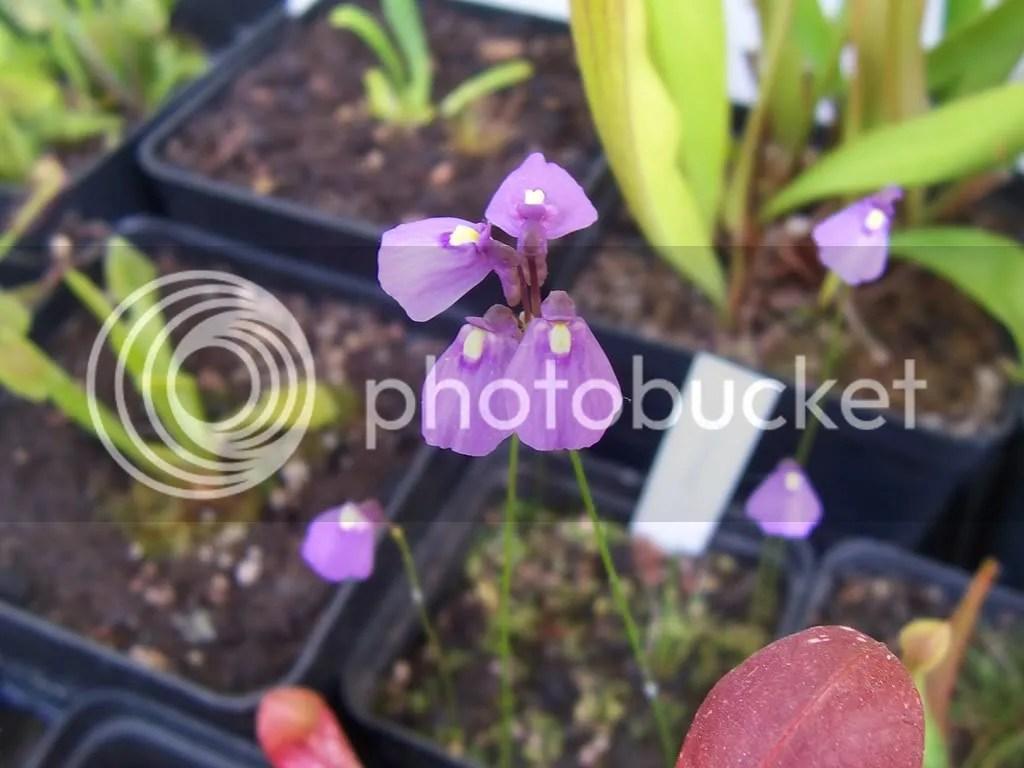 3.Bladderworts (Utricularia dan Polypompholyx)