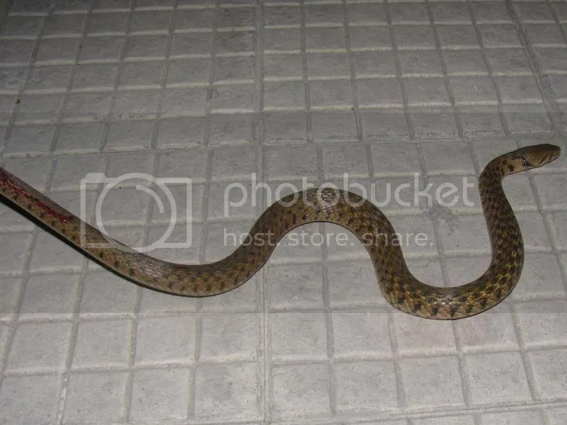 Yellow-spotted Keelback
