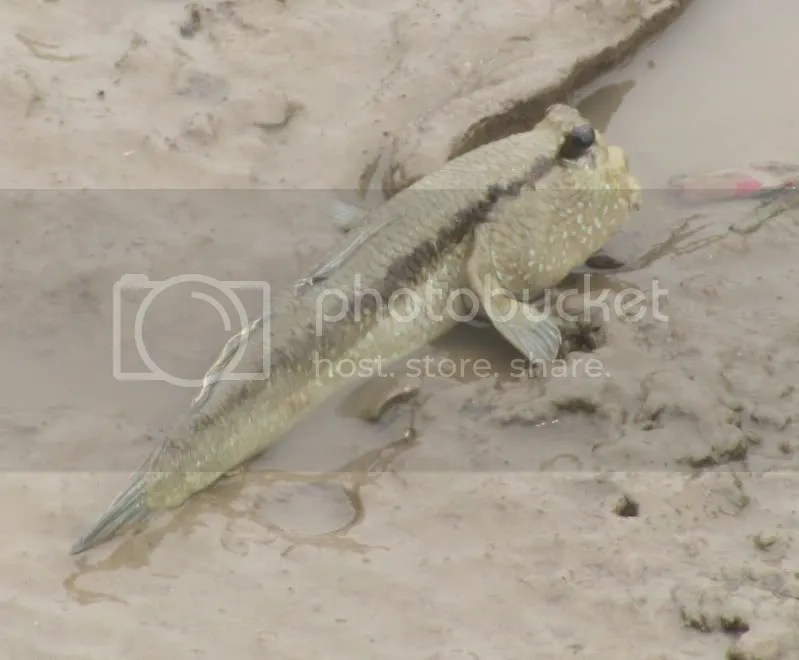Giant Mudskippers Periophthalmodon schlosseri