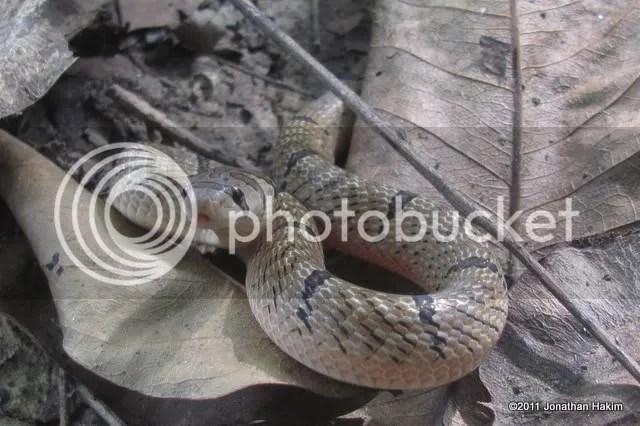 banded kukri snake bangkok
