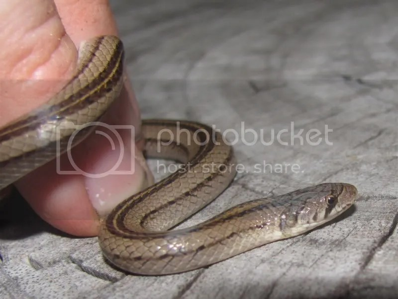 striped kukri snake bangkok