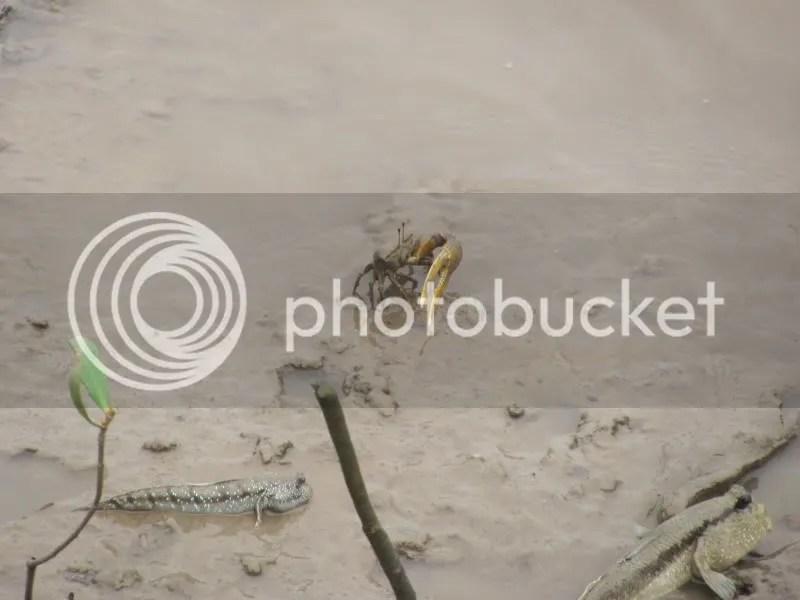 mudskipper goby fiddler crab
