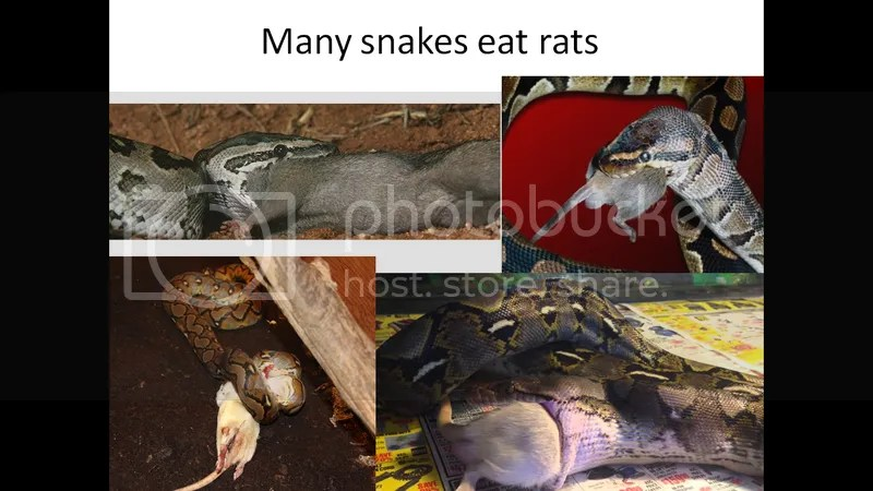 snakes eating rats