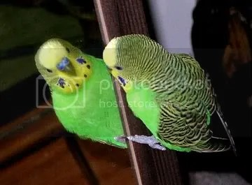 photo parakeetgreen_zpscab210bf.jpg