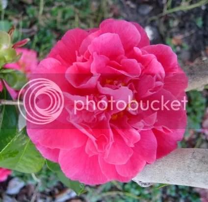 pink camellia spring 2010