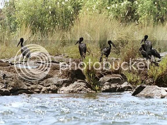 Black Pelicans