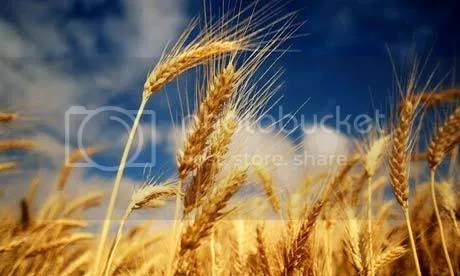 Image result for grain of wheat