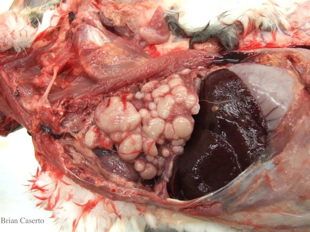 Lungs. liver, in situ: Multifocal tan firm nodules replace most of the lung tissue