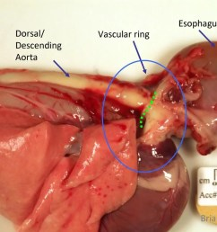 view from the right side cranial is to the right the aorta forms the right border of the ring the esophagus is passing through the vascular ring [ 1024 x 768 Pixel ]