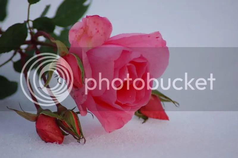 rose nella neve  Forum di Giardinaggioit