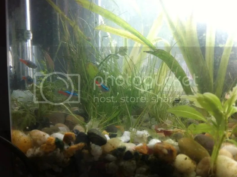 close-up of some small neon tetra fish - and some plants