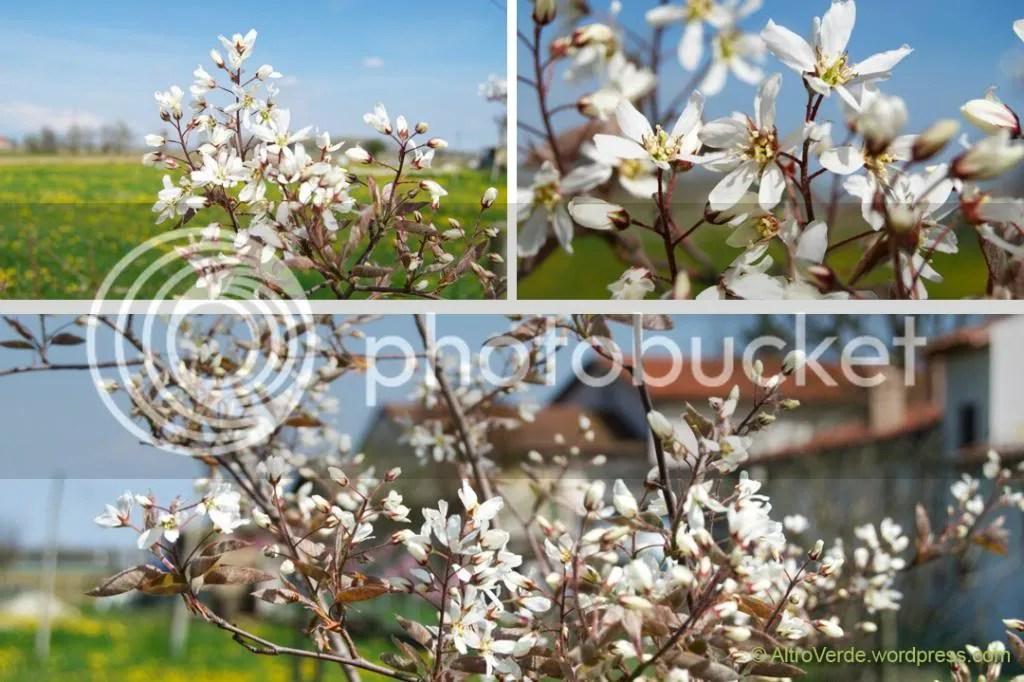 Amelanchier blossom (serviceberry)