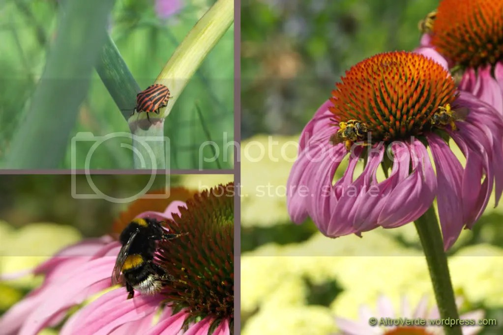bugs on fennel and bees on echinacea purpurea and achillea
